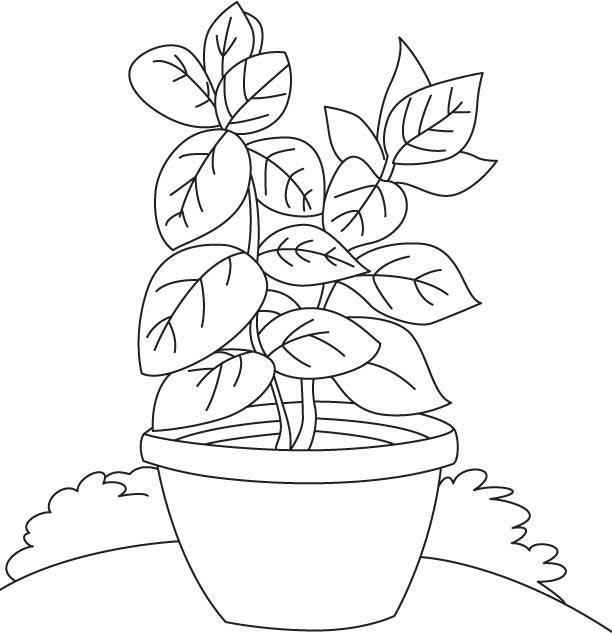 Herba Kemangi