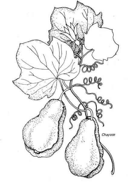 Chayote-Colouring-Pages