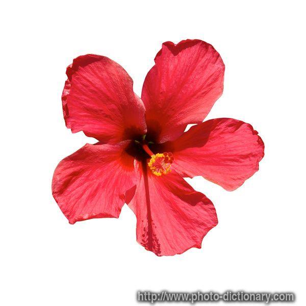 Lukisan Bunga Raya Malaysia Berwarna Cikimm Com