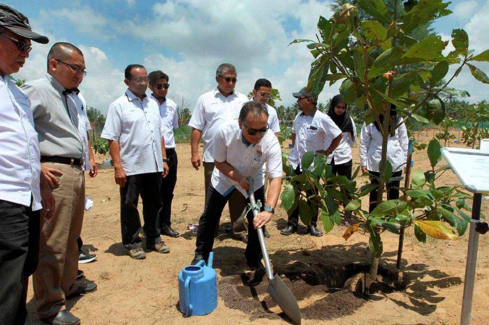 Gambar Pokok Untuk Mewarna Berguna Jabatan Perhutanan Agih 2 000 Pokok Nadir Percuma Nasional