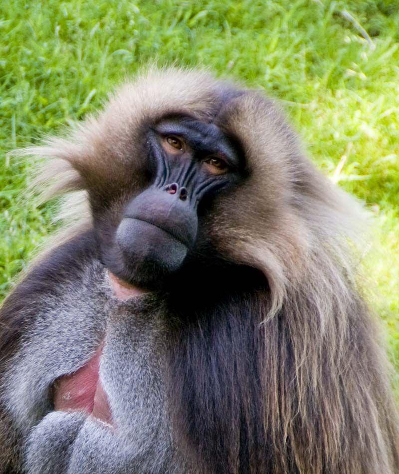 Gambar Baboon Mandrill Terbaik Bruce Elliott Photography Land Mammals