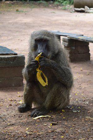 shai hills resource reserve olive baboon at registration