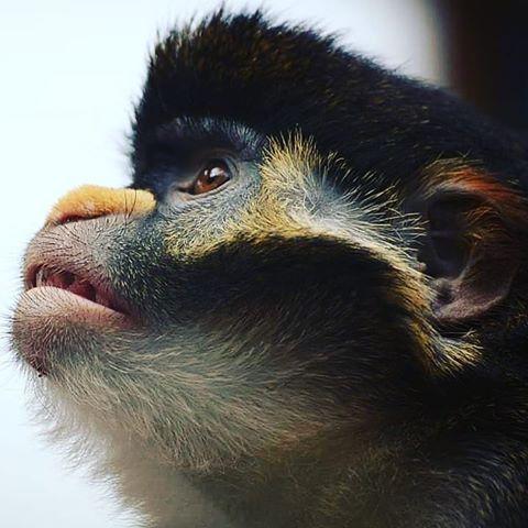singe singes monkeys monkey cercopithecus animals animalprotection animaux