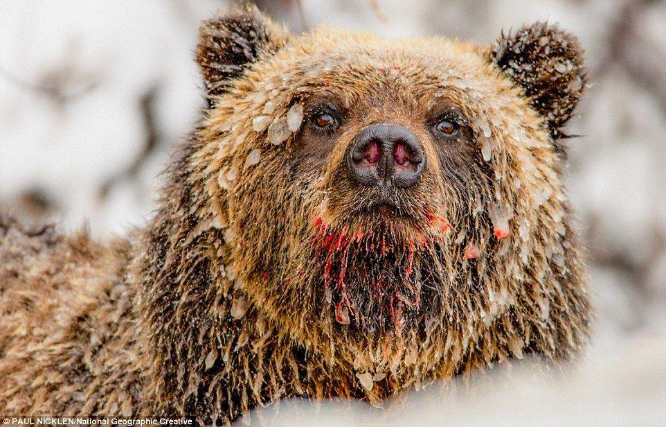 8 foto ini buktikan kalau beruang adalah predator yang tangguh 160620a jpg