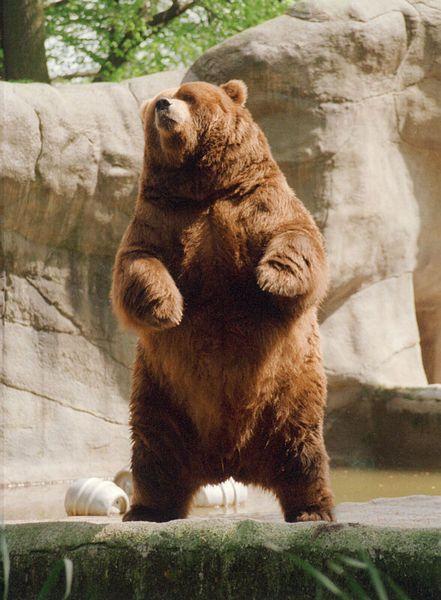brown bear rearing jpg