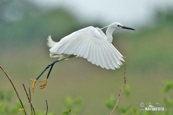 Gambar Burung Bangau Baik Burung Bangau Kecil Foto Gambar