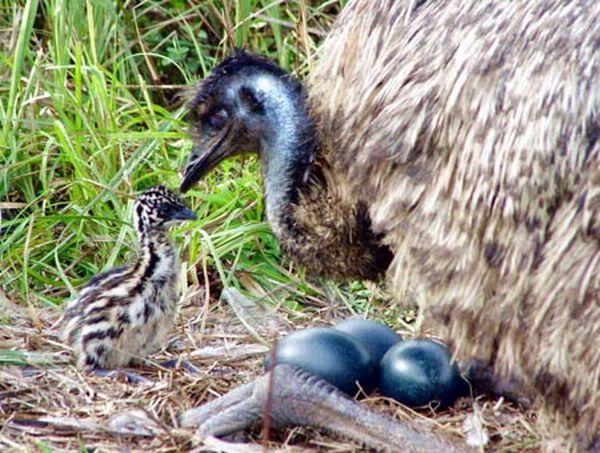 Gambar Burung Emu Terhebat 10 Spesies Burung Tidak Boleh Terbang Yang Masih Wujud Di Dunia