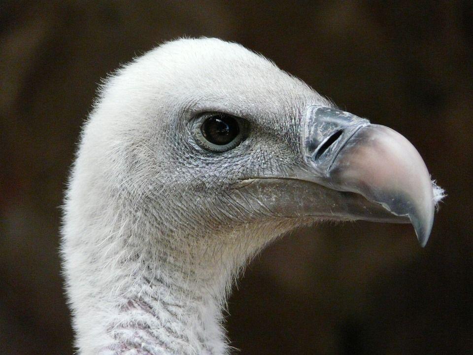 vulture ruppel hering burung burung raptor alam