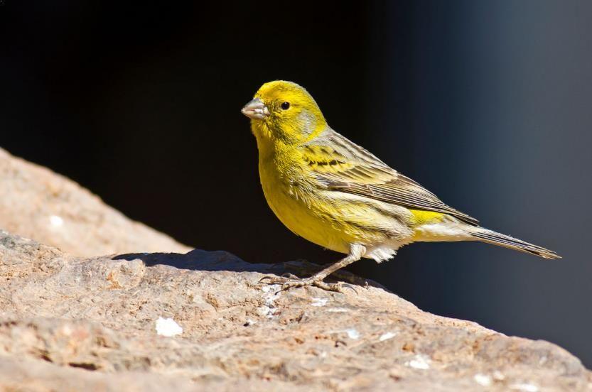 Gambar Burung Kenari Baik A Daftar Harga Burung Kenariterbau Juni 2019 Terlengkap
