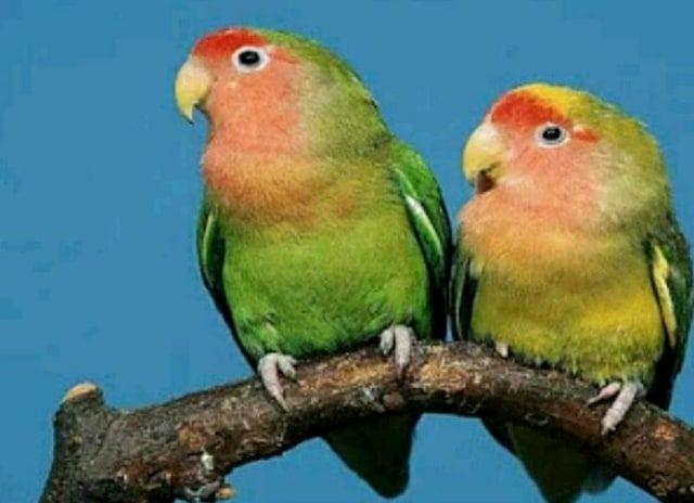 harga love bird terpuruk kenari melonjak