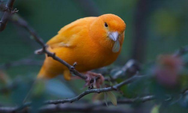 foto burung kenari 1