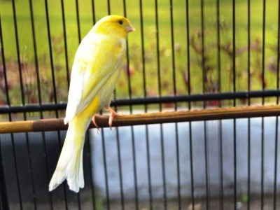koleksi aneka video atau gambar tips bagaimana cara meracik jenis pakan terbaik burung kenari agar rajin