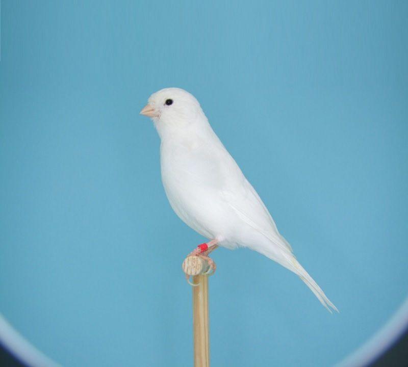 gambar burung kenari lokal putih kenari putih dominan