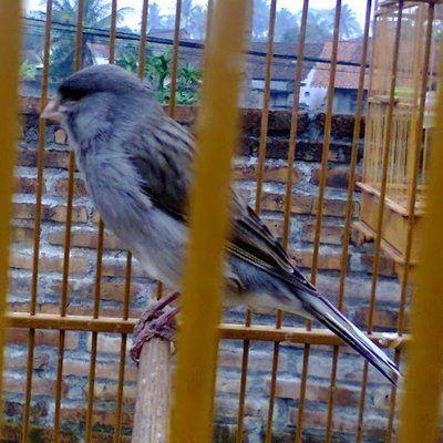 gambar burung kenari starblue jambul jpg