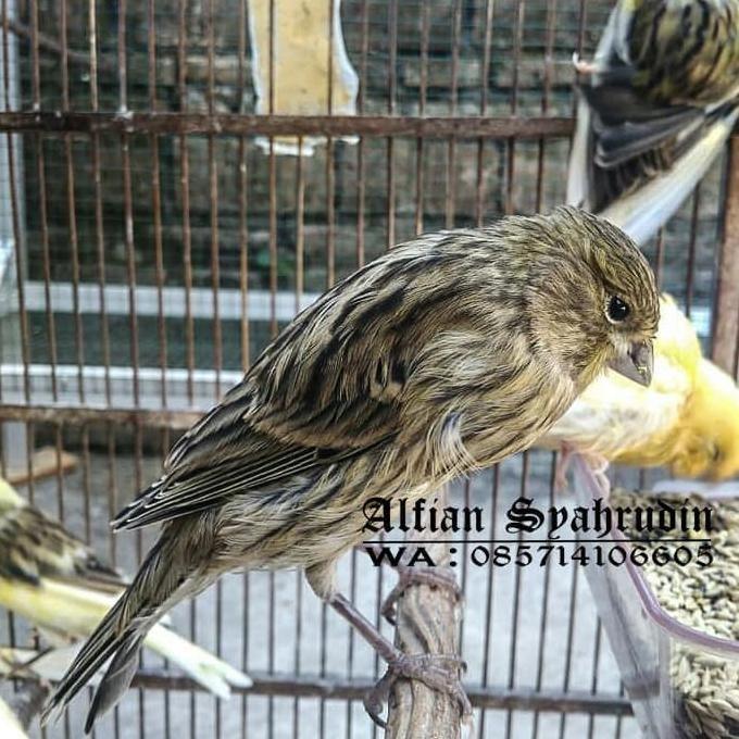 gambar burung kenari f1ys dari pelapak pilihan