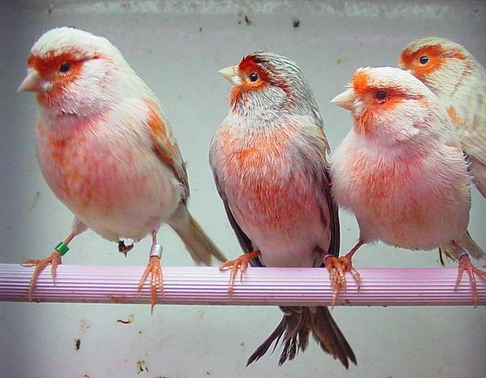 burung kenari 04 jpg
