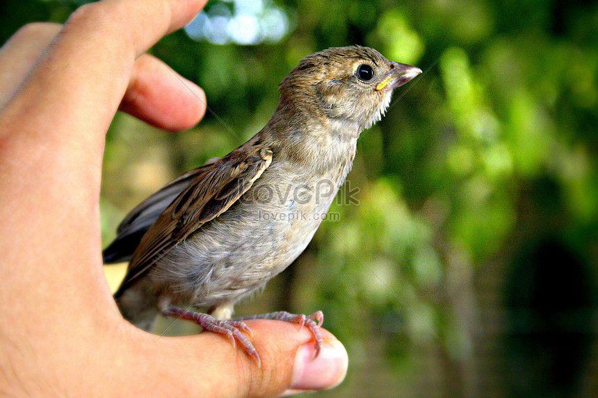 Gambar Burung Pipit Hebat Burung Pipit Di Jari Gambar Unduh Gratis Foto 100309929 format
