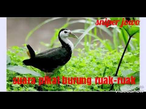 Gambar Burung Ruak-ruak Terbaik Videos Matching Suara Burung Ruak Ruak Suara Betina Mp3 Revolvy