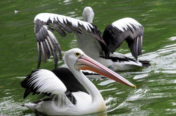 burung pelikan atau undan di kebun binatang ragunan