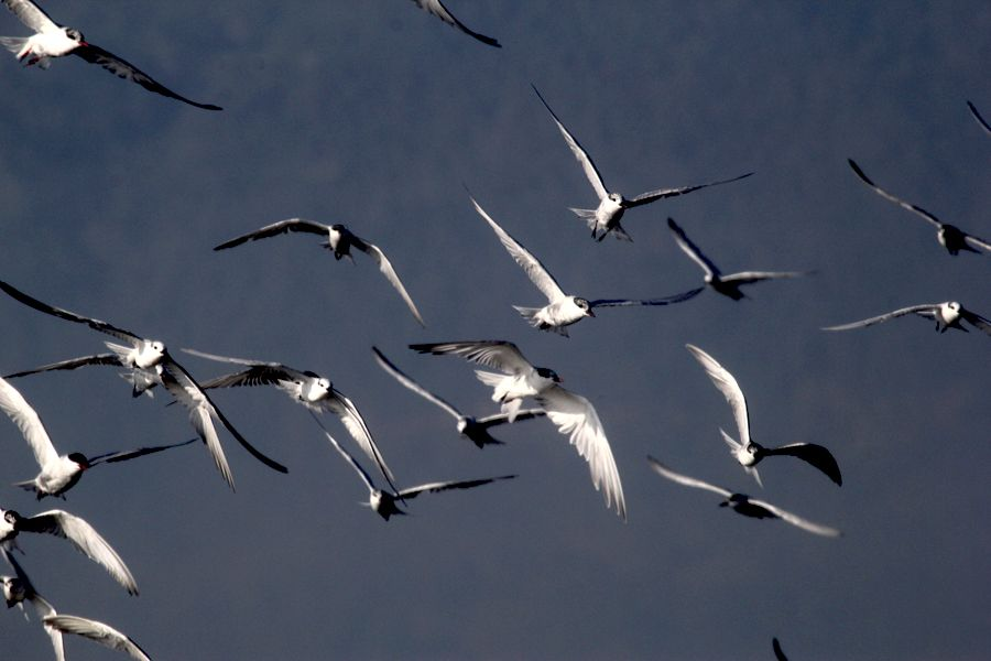burung dara laut kumis foto hanom bashari