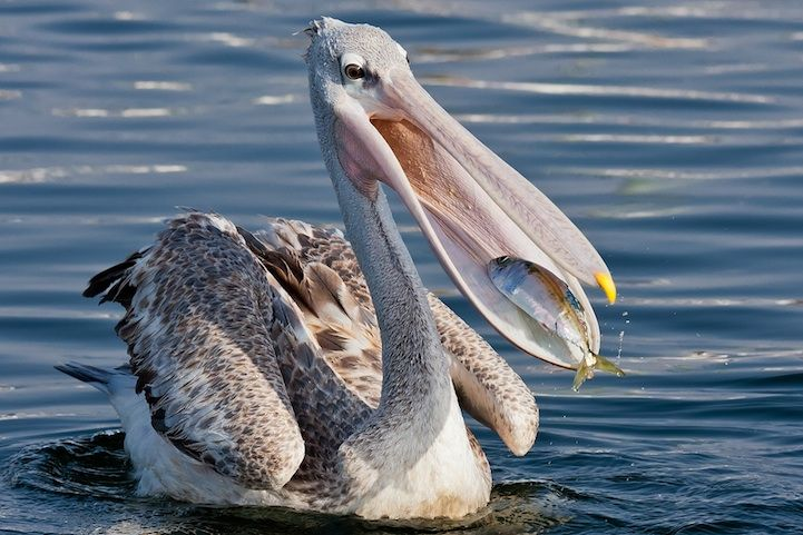 burung undan dengan ikan gambar ali alqudsi