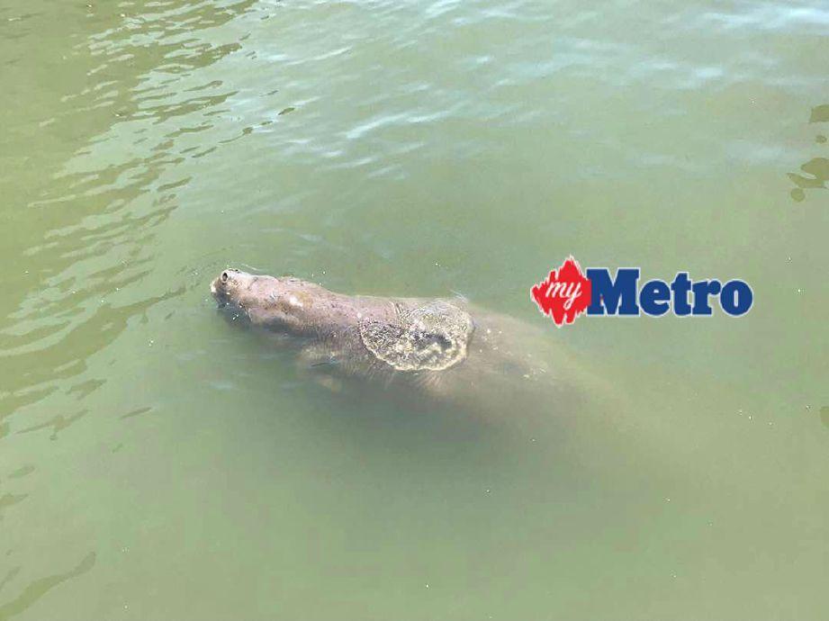 dugong yang ditemui di perairan kampung sim sim di sandakan pagi tadi foto ihsan jabatan hidupan liar sandakan