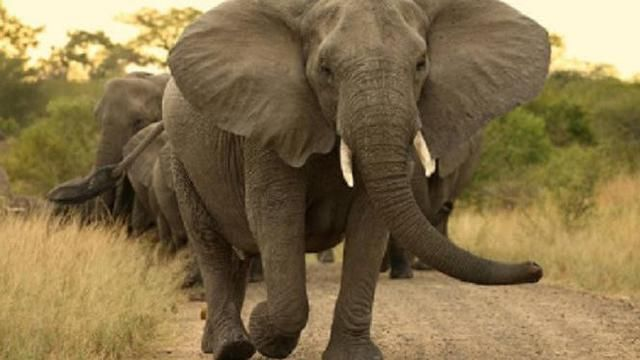 Gambar Gajah Berguna Kawanan Gajah Liar Mengamuk Tewaskan Mbah Surip Di Lampung