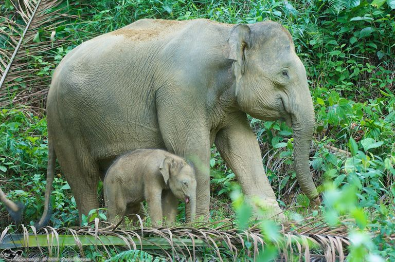 Gambar Gajah Berguna Studi Gajah Kalimantan Telah Ada Sejak Ribuan Tahun Silam
