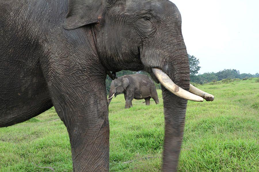 Gambar Gajah Power Gajah Di Pesisir Timur Sumsel Tetap Berkembang Meski Habitatnya