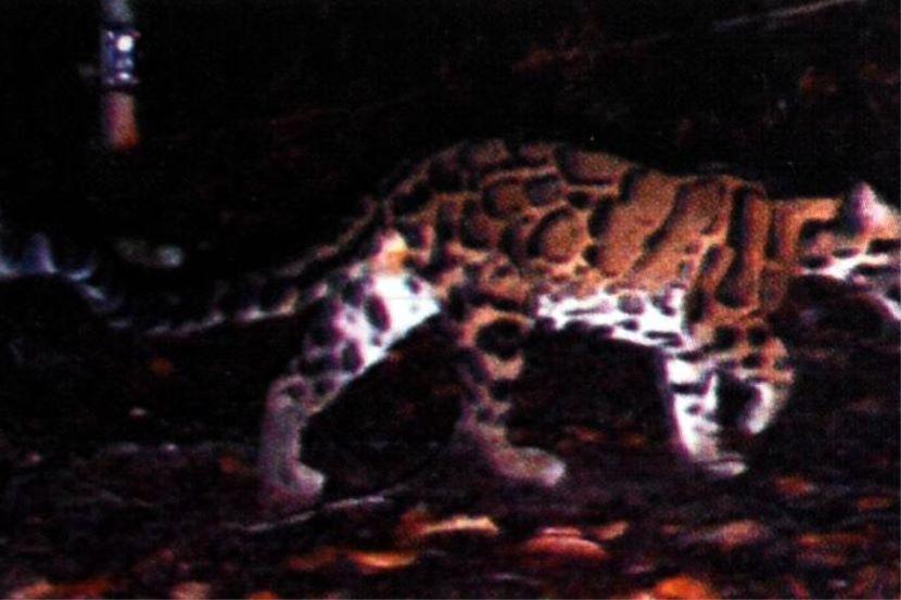 Gambar Harimau Dahan Bermanfaat Harimau Dahan Merayau Di Kuarters Hospital Gua Musang Semasa Mstar