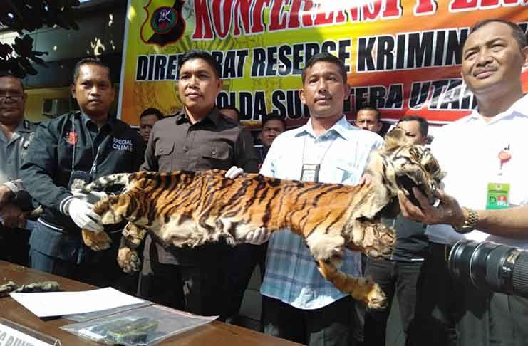 Gambar Harimau Dahan Bernilai Pelaku Penjualan Kulit Harimau Sumatera Dan Macan Dahan Ditemukan