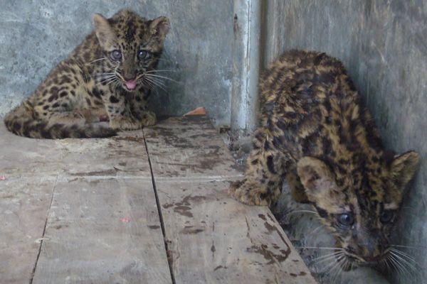 Gambar Harimau Dahan Hebat Bksda Aceh Sita Dua Anak Macan Dahan Dari Kapolsek Mongabay Co Id