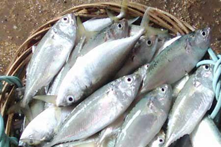 Gambar Ikan Kembung Menarik Pusat Studi Sumber Daya Pesisir Laut Sumberdaya Ikan Pelagis Dan
