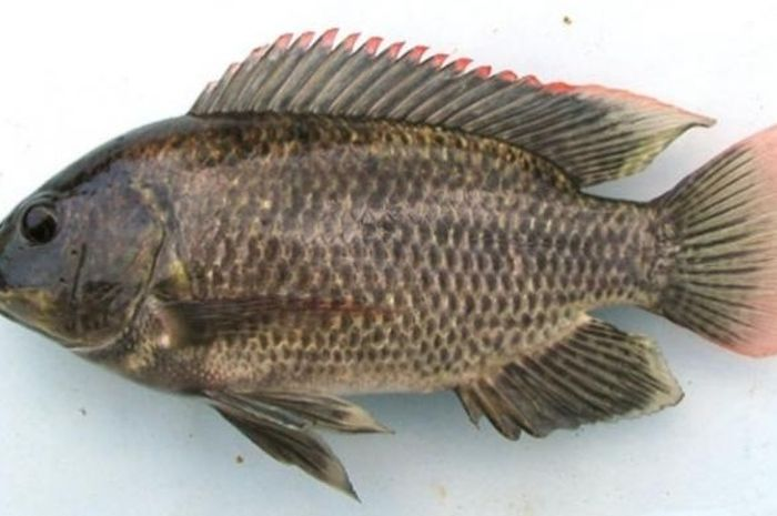 Link Download Pelbagai Contoh Gambar Ikan Talapia Yang Awesome Dan Boleh Di Download Dengan Mudah Gambar Mewarna