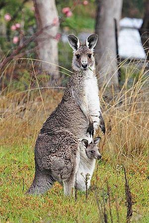 kanggaru bersama anaknya