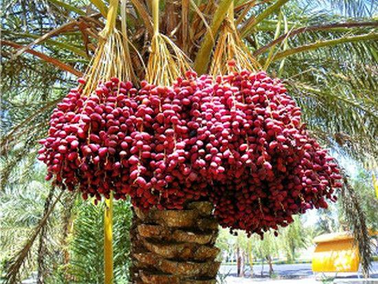 kononnya buah kurma dari negara timur tengah dijangkiti virus corona coronavirus berikutan terdapatnya banyak kelawar yang tinggal di pokok kurma