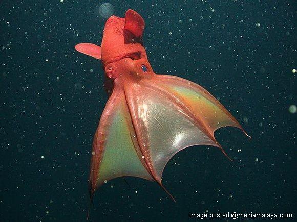 sotong ini diberi nama vampire squid disebabkan mukanya yang seakan kelawar dan mengerbang seperti dracula apabila mahu bergerak