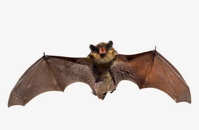 habitat pula habitat kelawar pula seperti di gua rongga pokok loteng bangunan tinggi dan loteng rumah
