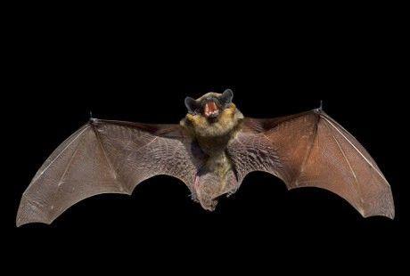 Gambar Kelawar Kecil Berbulu Menarik Kelelawar Membawa 60 Virus Berbahaya Yang Bisa Menginfeksi Manusia