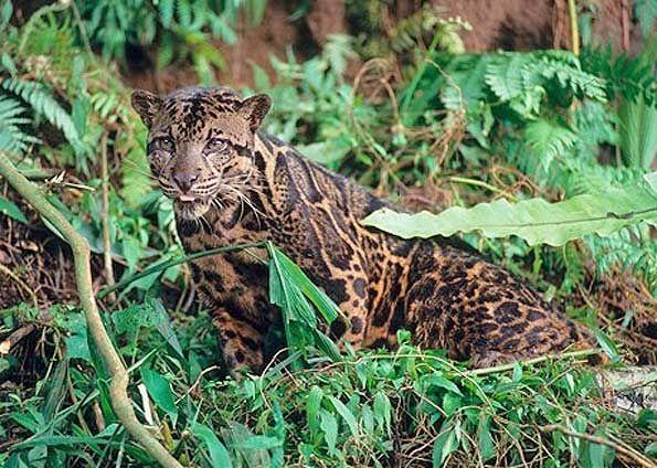 Gambar Kucing Dahan Meletup Prisma 84 Jenis Spesies Kucing Di Indonesia