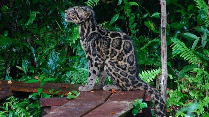 video macan dahan ini dilepas ke alam liar yuk intip videonya