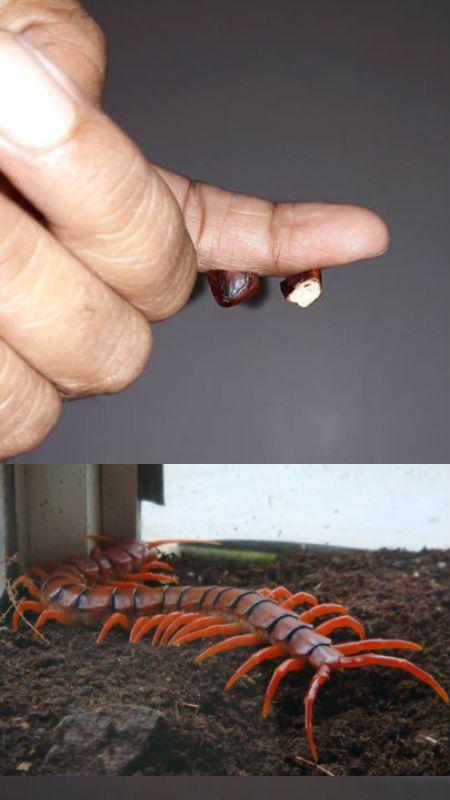 Gambar Lipan Meletup 10 Tip atau Petua Di Gigit Serangga Berbisa Termasuk Lipan