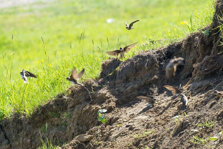 secara umum burung gesit itu unik diciptakan untuk elemen udara mereka tidak tahu cara berjalan di tanah hanya saja mereka merangkak