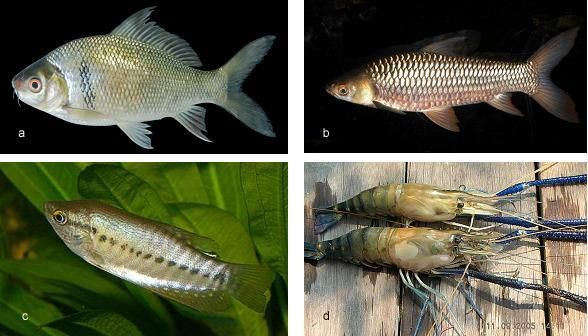 kalimantan dan oleh para ahli ikhtiologi bilogi ikan dipandang sebagai salah satu nenek moyang