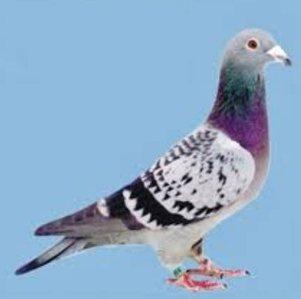 Gambar Mewarna Merpati Meletup Muat Turun Himpunan Contoh Gambar Burung Merpati Yang Berguna Dan