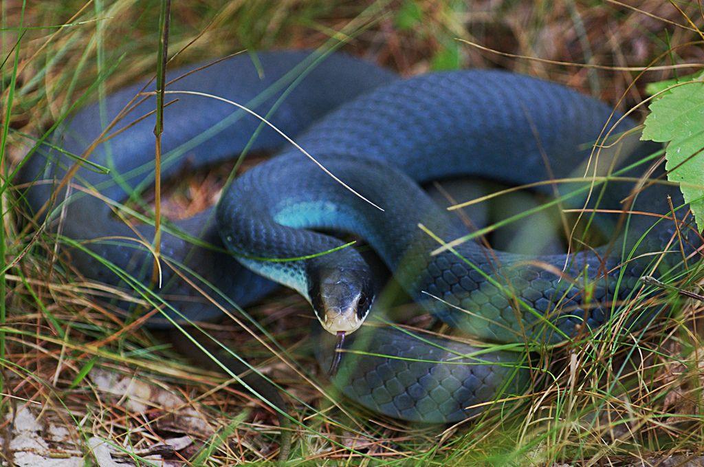 gambar ular berbisa gambar ular
