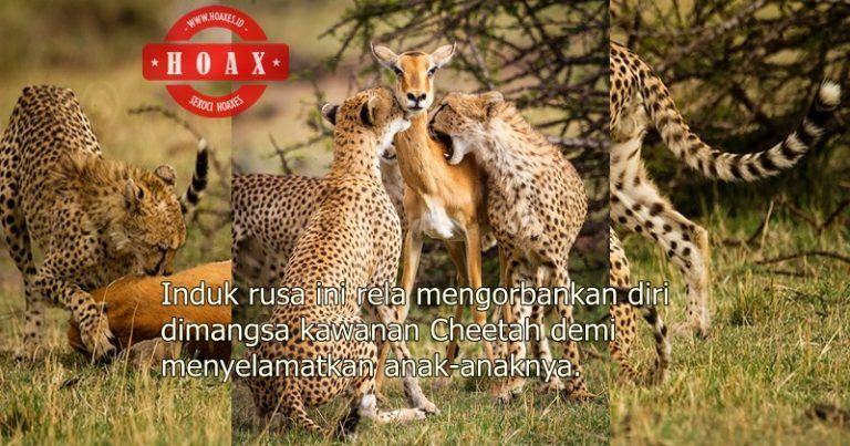 klaim foto seekor induk rusa mengorbankan diri dimangsa kawanan cheetah demi menyelamatkan kedua anaknya