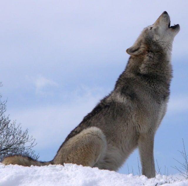 Gambar Serigala Berguna Lolongan Serigala Tidak Bergema Kumparan Com