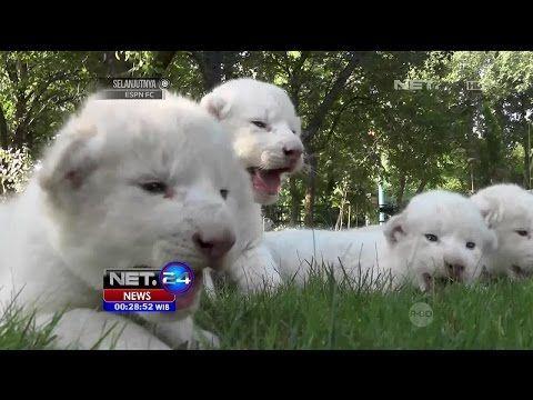 4 bayi singa putih langka lahir di taman safari taigan crimea net24 youtube