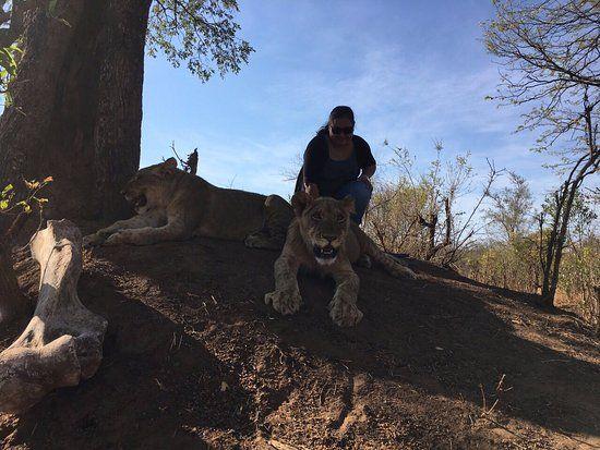 Gambar Singa Terbaik Berteduh Dibawah Pohon Dengan Singa Singa Remaja Afrika Picture Of